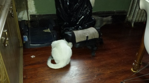 The cats hunt down a mouse tag team style.